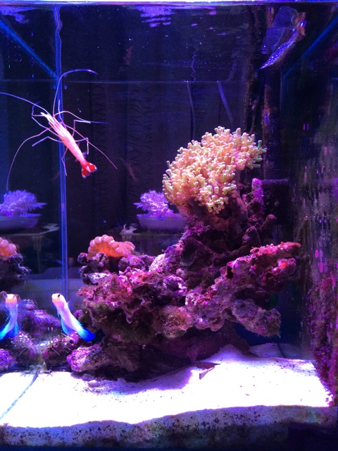 レイアウト変更後の小型のサンゴ水槽。色んなアングルからサンゴが見えるようにした。