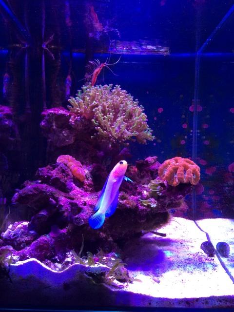 小型のサンゴ水槽を泳ぐイエローヘッドジョーフィッシュ