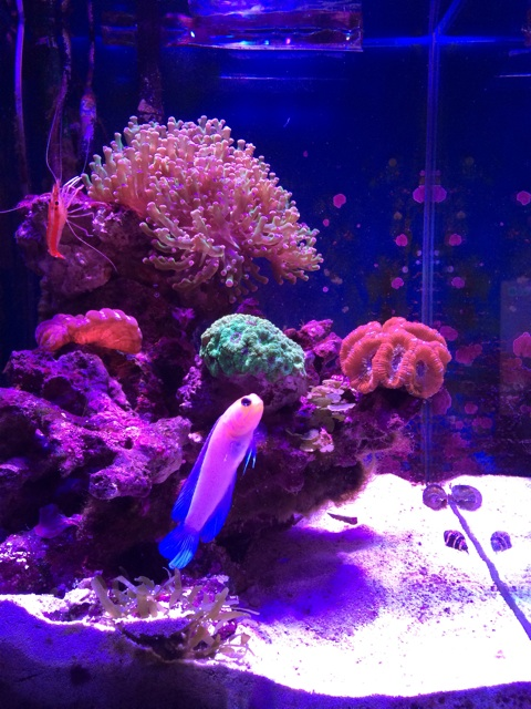 サンゴ水槽とイエローヘッドジョーフィッシュ