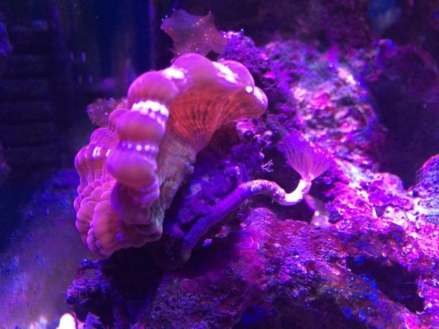 ひっくり返ったコハナガタサンゴ