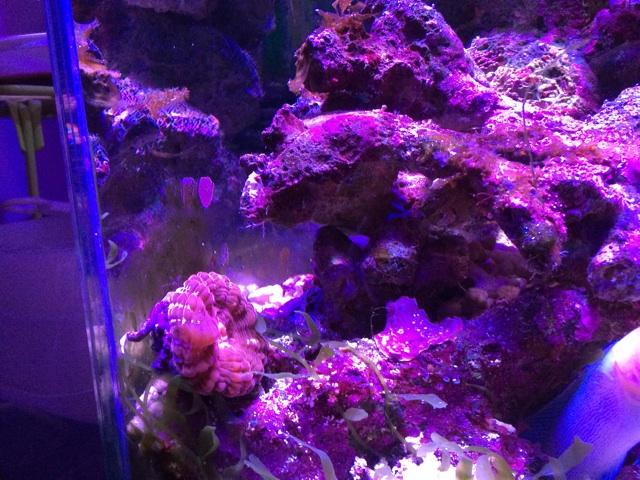 落ちたコハナガタサンゴ