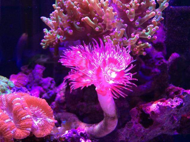 ハードチューブシモフリの花のような部分は鰓冠(さいかん)といわれ、エラです。この部分で呼吸をし、食事をしています。