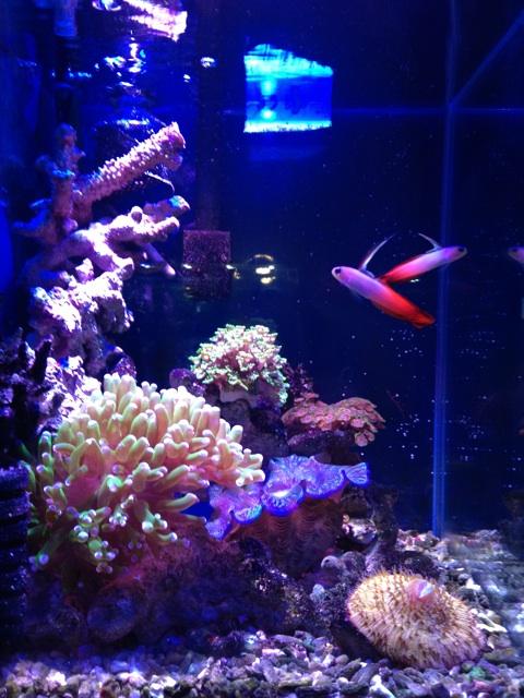 ハタタテハゼのいるサンゴ水槽小型