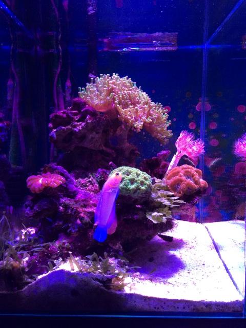 イエローヘッドジョーフィッシュのいるサンゴ水槽