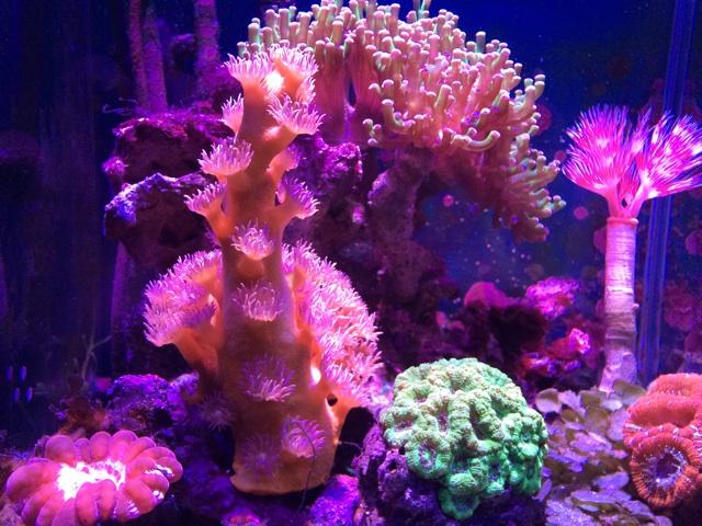 小型のサンゴ水槽全景