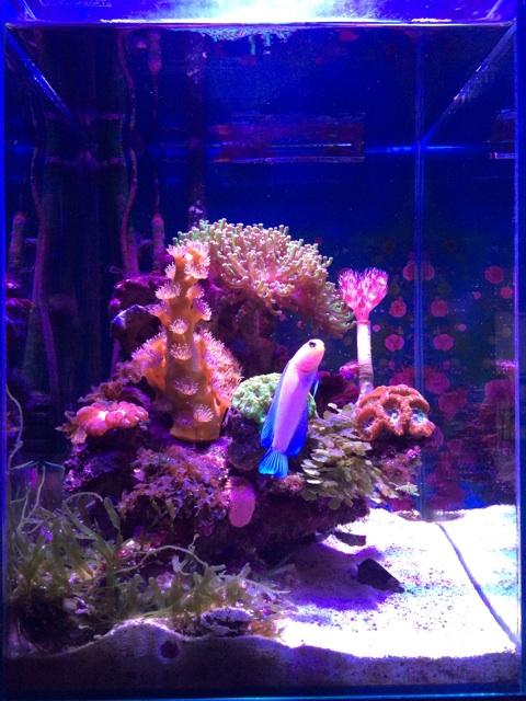 小型の海水水槽で飼育してるタコアシサンゴ