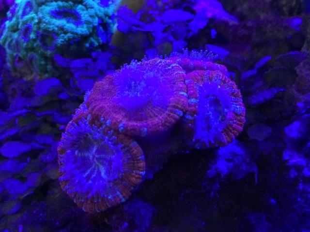 紫外線のスポットLEDで照らしたカクオオトゲキクメイシ
