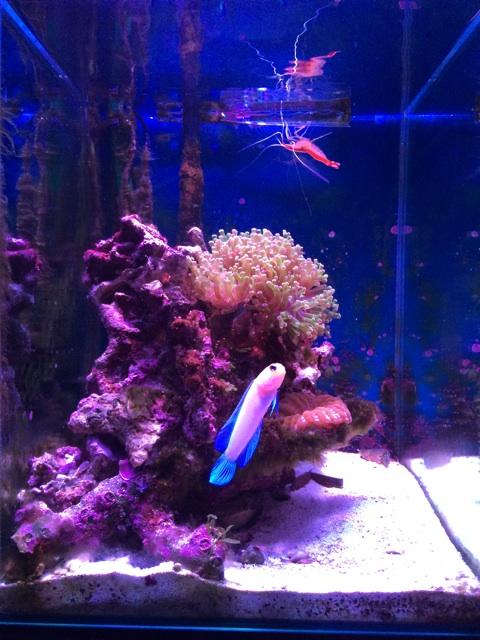 タコアシサンゴを追加した小型の海水水槽