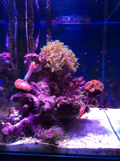 カクオオトゲキクメイシと小型の海水水槽