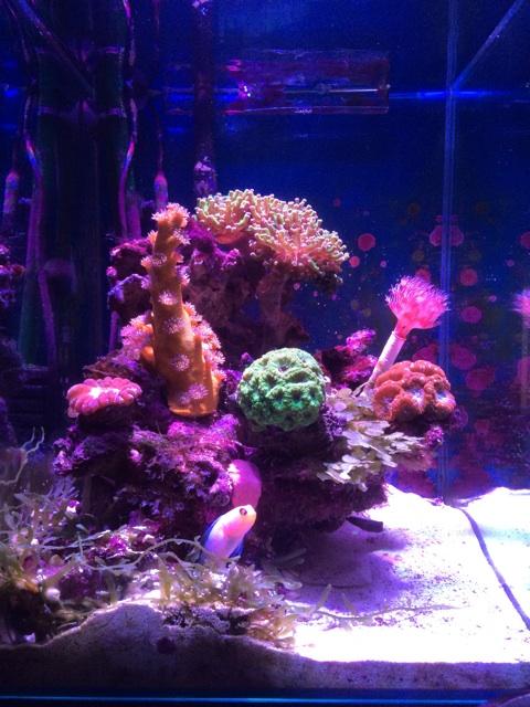黄色いスリバチサンゴを入れた小型の海水水槽