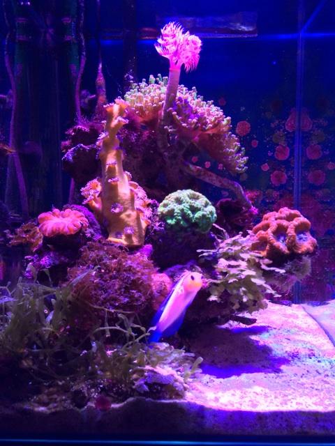 旅行前に撮影した小型水槽のサンゴとイエローヘッドジョーフィッシュ