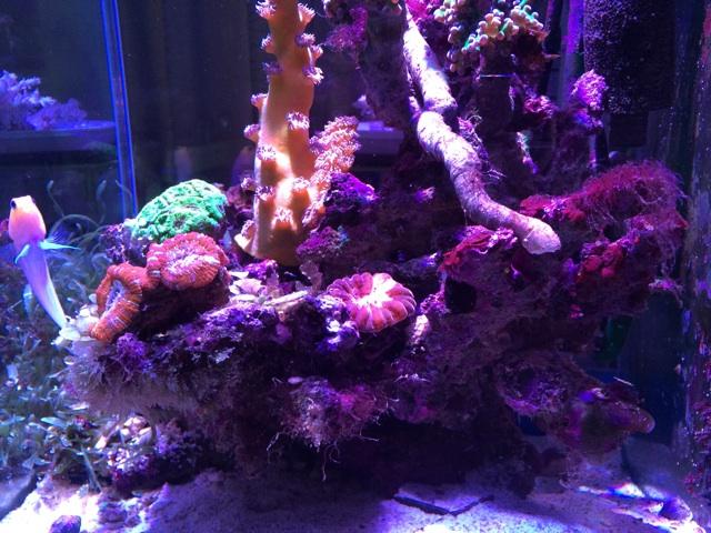 サンゴをレイアウトした小型水槽の全景。コハナガタサンゴのレイアウト場所にカーリーが発生した。