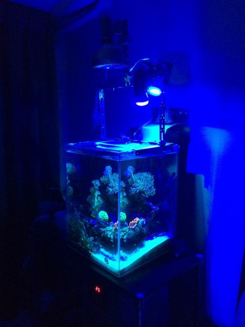 シアンと紫外線のスポット照明だけで照らした小型のサンゴ水槽