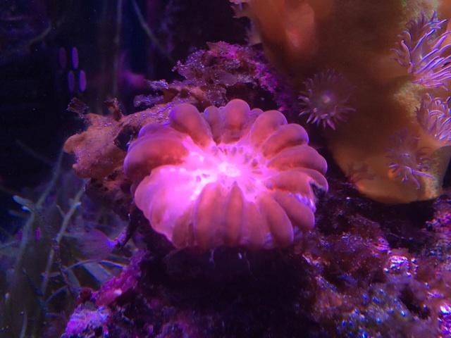 2週間前、白化し始めたころのコハナガタサンゴ