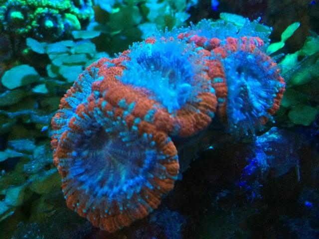 サンゴがエサを食べるタイミングは消灯時に触手を出している時