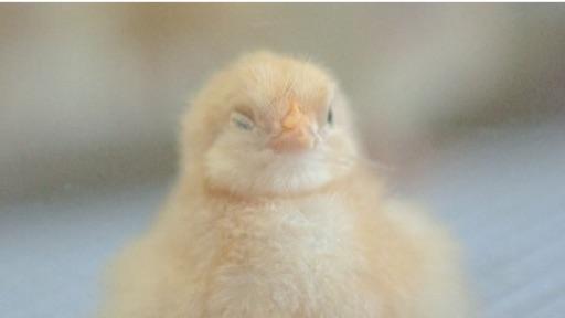 生まれたてのひな鳥は当目にはふさふさであるが、近くでは地肌が透けて見えるほど毛が薄い