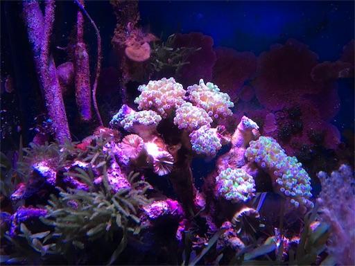 ナガレハナサンゴのブランチタイプ