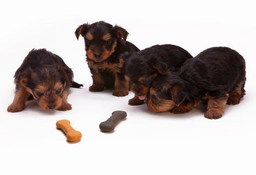 犬がうんちを食べてしまうのは何故