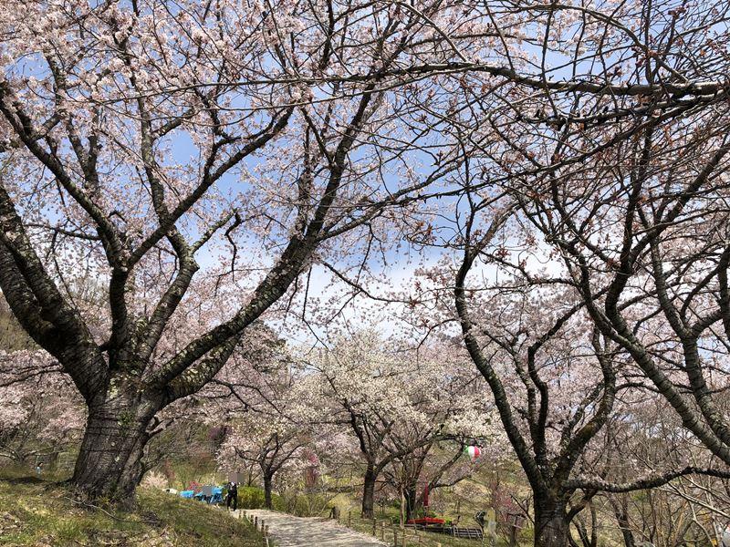 さがみ湖桜まつり