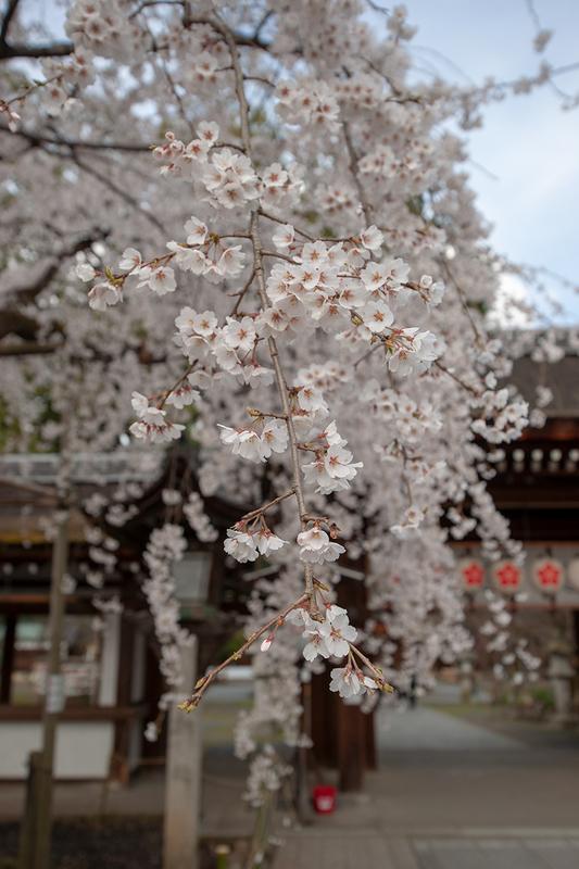 満開の平野神社の魁桜