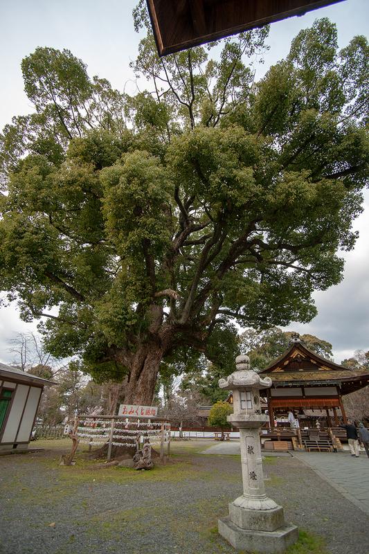 平野神社境内の楠の巨木