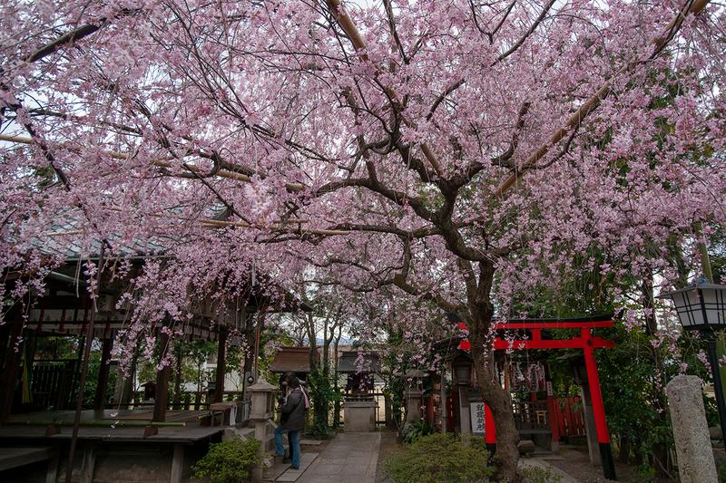 水火天満宮の満開の紅枝垂れ桜