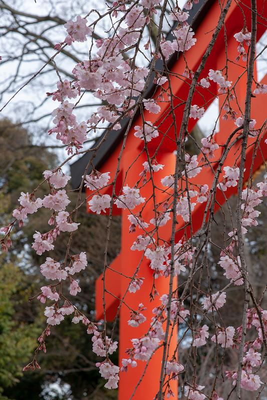 平野神社の鳥居と、紅枝垂れ桜
