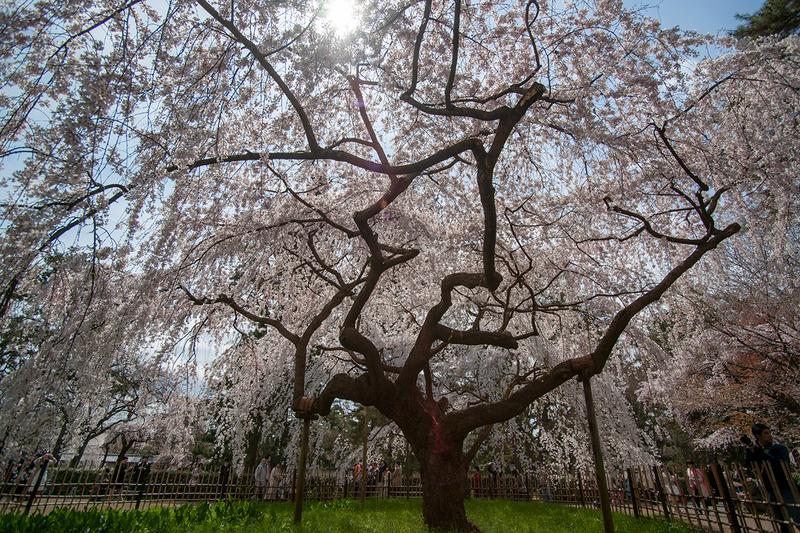 京都御所の満開の桜