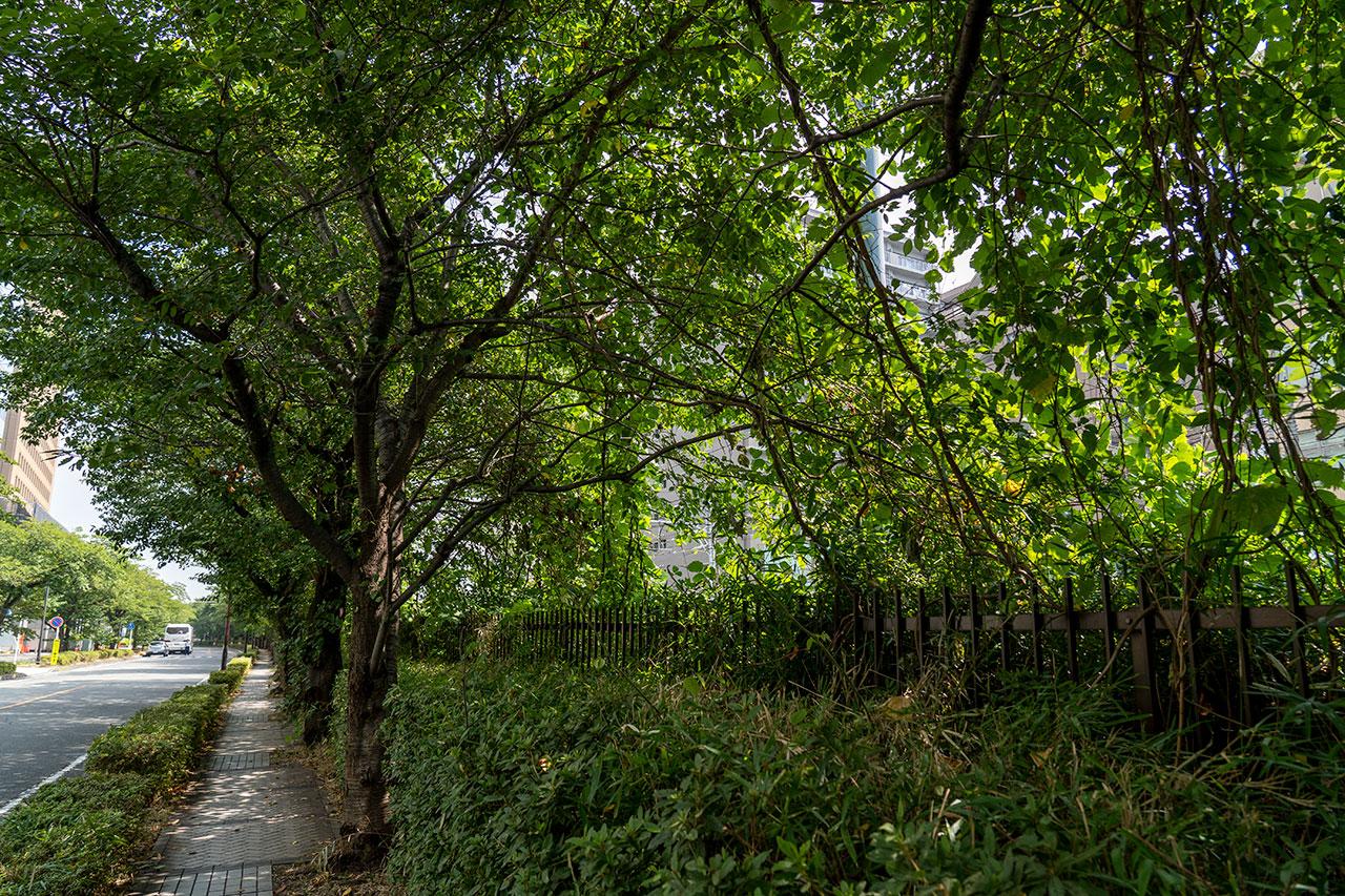 桜並木に襲い掛かる葛の蔓