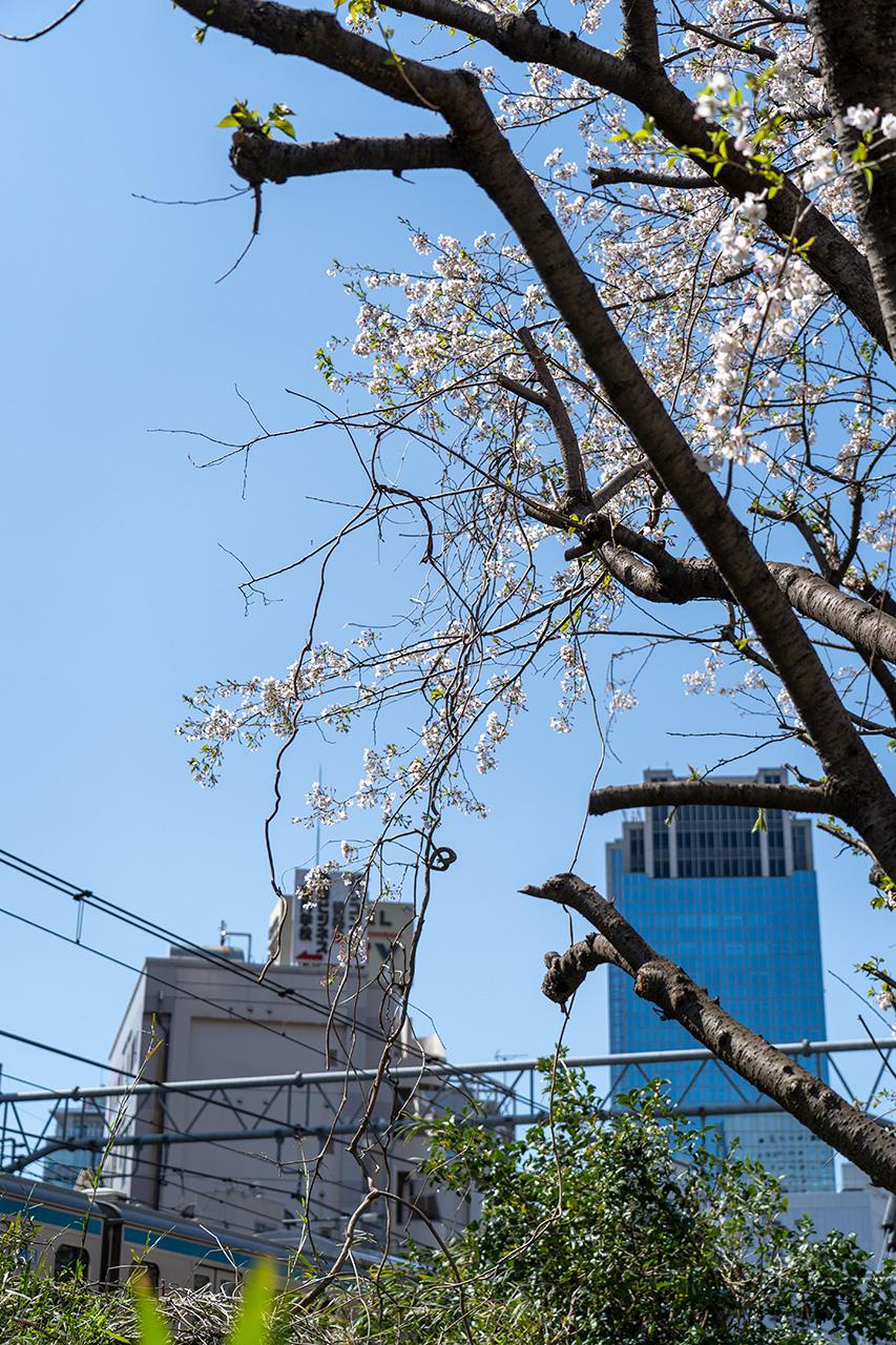 伐採されたのち、開花を迎えた桜