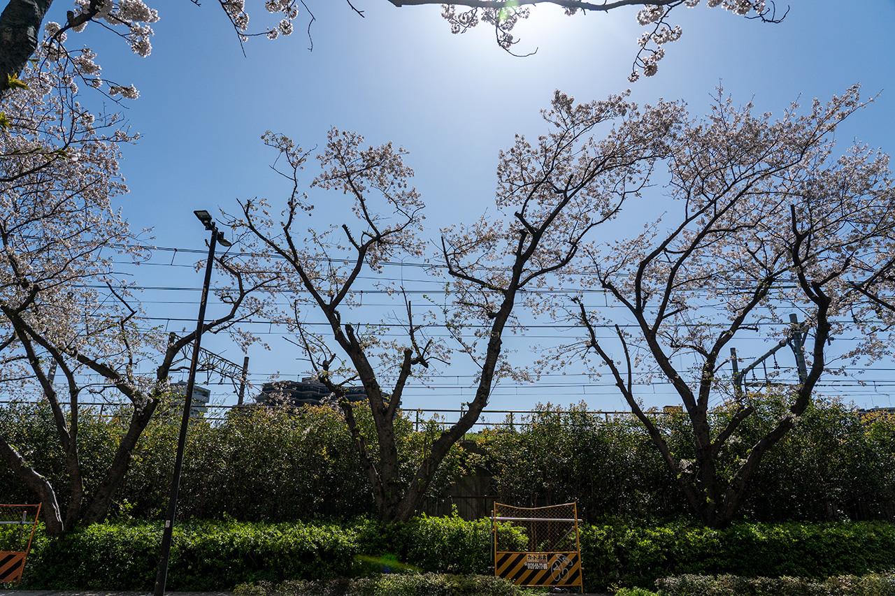 伐採され、花もまばらな桜