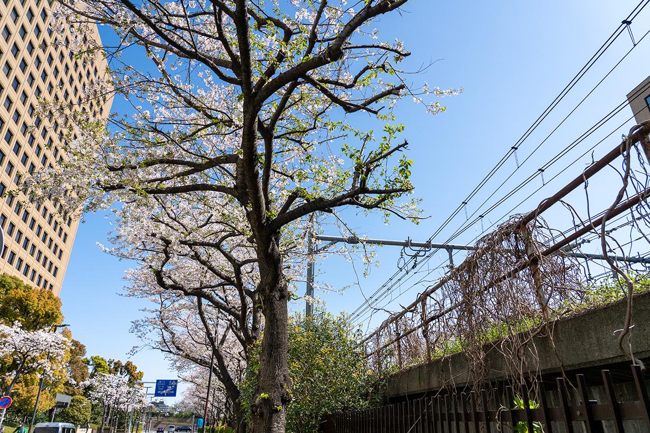 若枝を伸ばそうとする桜