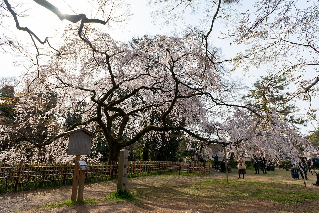 2020年3月22日(日)、京都御苑旧近衛邸の桜
