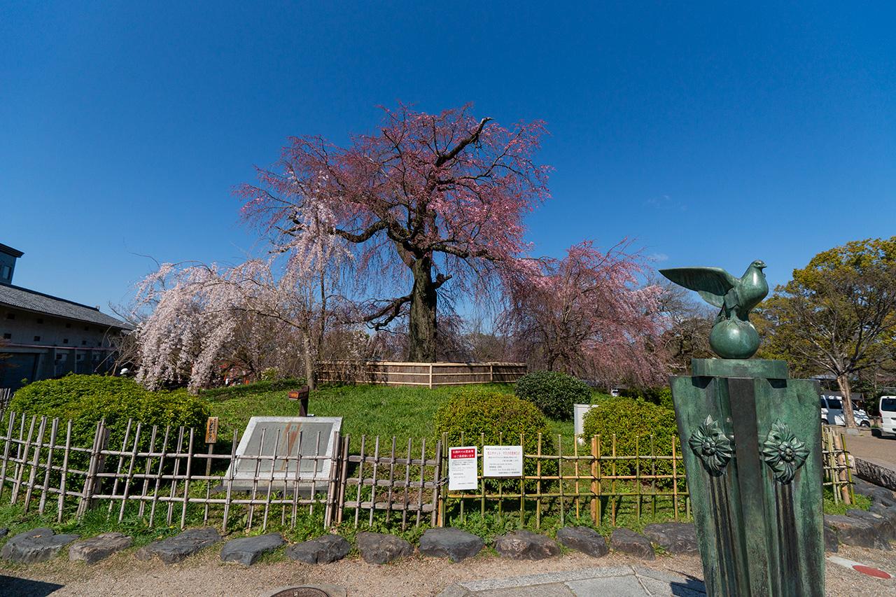 2020年3月23日(月)、円山公園の枝垂れ桜