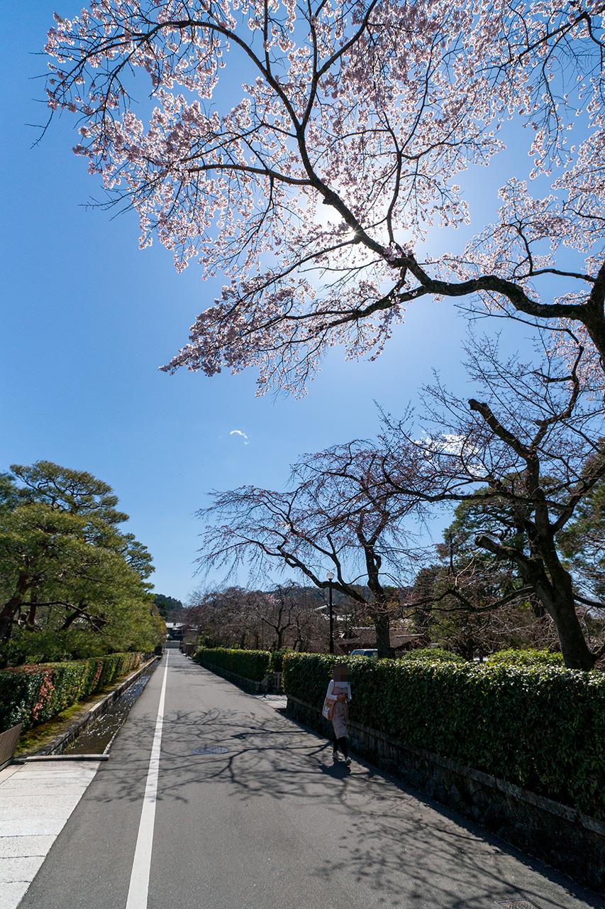 2020年3月23日(月)、南禅寺近くの清流亭の紅枝垂れ桜
