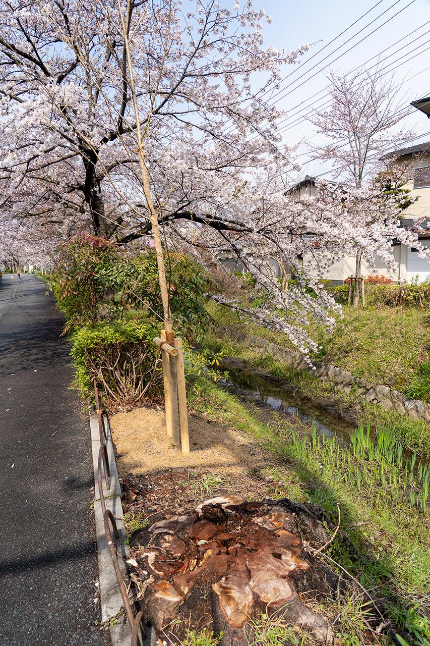 2019年4月3日、白川疎水沿いの桜