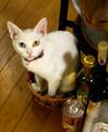 [かすみさん]8/18 子猫用の籠に入ってみたかすみさん。ちょっときつい。