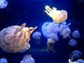 [クラゲ]2008/08/29 新江ノ島水族館にてタコクラゲ