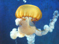 [クラゲ]2008/08/29 新江ノ島水族館にてパシフィックシーネットル
