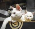[かすみさん][りゃんちゃん] 02/16 増えたプリンタ台の住人にかすみさん迷惑顔