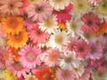 090426 一面のガーベラ (於 Marunouchi FLOWER WEEKS 2009)