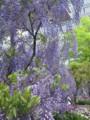 090426 藤が満開 (於 Marunouchi FLOWER WEEKS 2009)