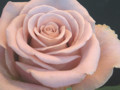 090426 絶妙な色合いの薔薇でした (於 Marunouchi FLOWER WEEKS 2009)