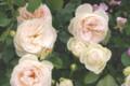 090519 フランスのバラ「フランソワ・ジュランビル」 (於 谷津バラ園)