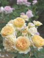 090519 ロゼッタ咲きの花が大好き (於 谷津バラ園)