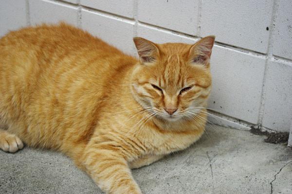 090731 江の島で会った猫たち3 (於 江の島)