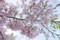 100401 薄紅色の桜、「神代曙」(HDR化画像) (於:国立劇場前)