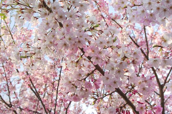 100401 薄紅色の桜、「神代曙」2(HDR化画像) (於:国立劇場前)