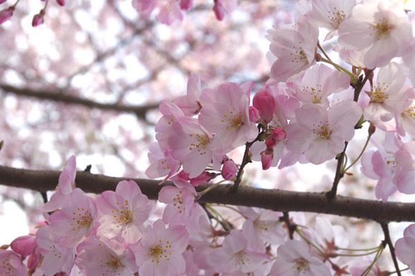 100401 薄紅色の桜、「神代曙」3 (於:国立劇場前)