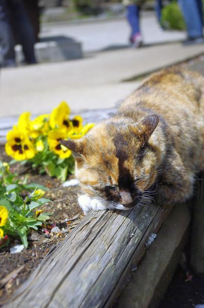 100418 江の島で会った猫たち5 (於 江の島)